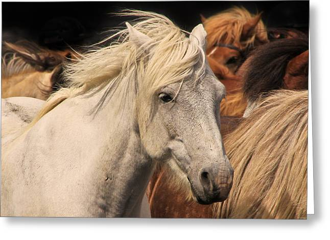 Tom And Pat Cory Greeting Cards - White Icelandic Horse Greeting Card by Tom and Pat Cory