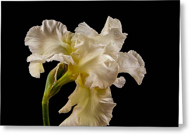 Jean Noren Greeting Cards - White Iris on Black Background Greeting Card by Jean Noren