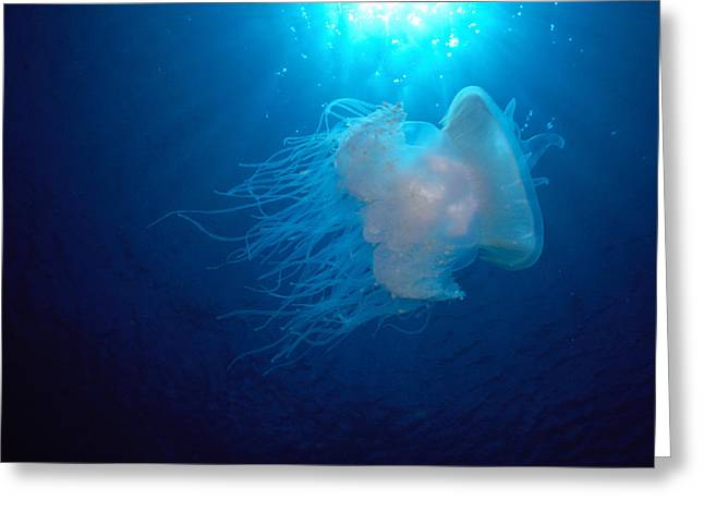 Best Sellers -  - Racquet Greeting Cards - White Jellyfish Greeting Card by Dave Fleetham - Printscapes