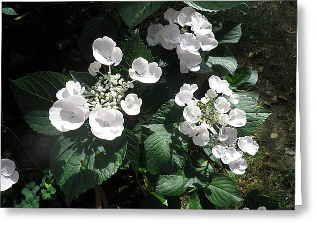 Lacecap Greeting Cards - White lacecap Hydrangeas Greeting Card by Kate Gallagher
