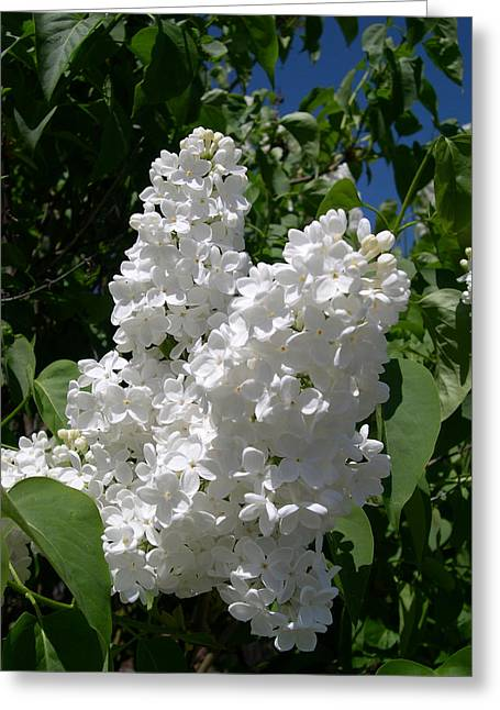 Mccoy Greeting Cards - White lilacs Greeting Card by Claude McCoy