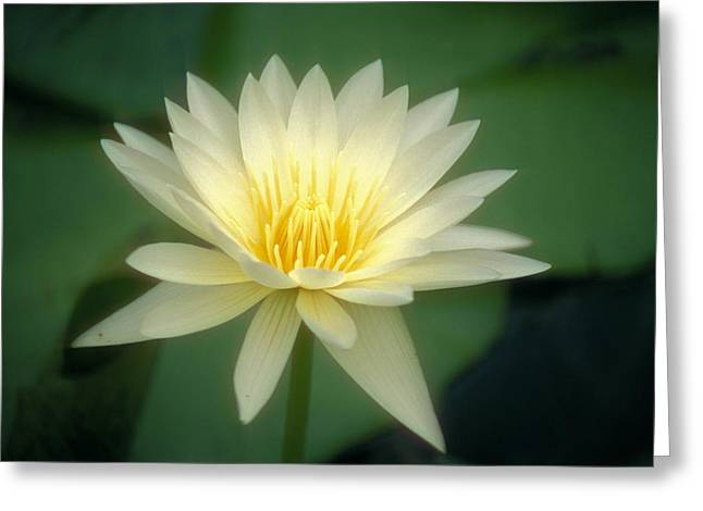 Nature Center Pond Photographs Greeting Cards - White Lily Greeting Card by Ron Dahlquist - Printscapes