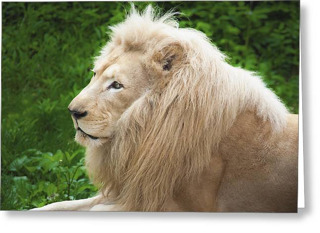 White Lion Greeting Card by Jen Morrison