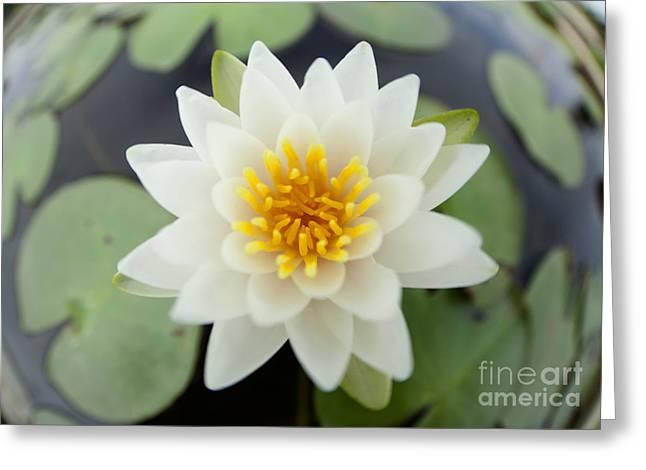 Reflex Greeting Cards - White lotus Greeting Card by Anek Suwannaphoom