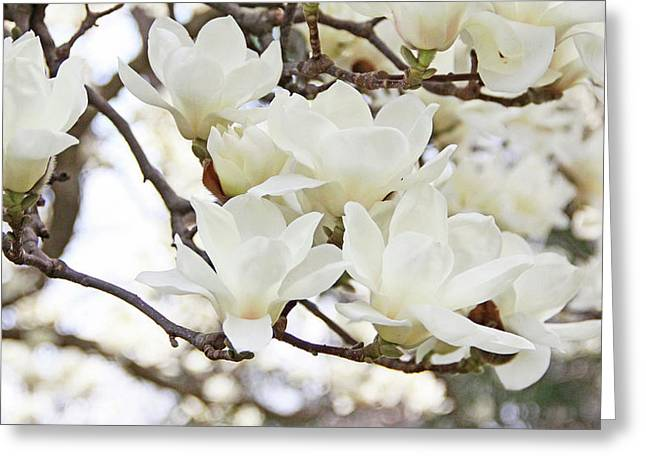White Magnolias Greeting Card by Becky Lodes
