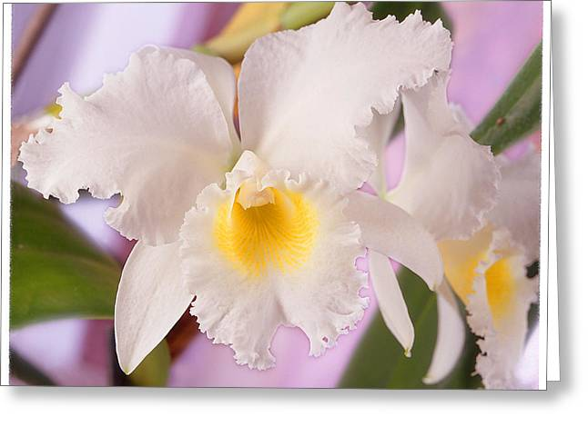 White Photographs Greeting Cards - White Orchid Greeting Card by Mike McGlothlen