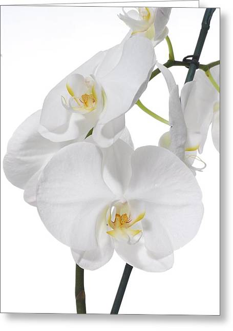 In Full Bloom Greeting Cards - White Orchid Greeting Card by Photostock-israel