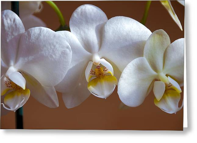 Fresh Green Greeting Cards - White Orchid  Greeting Card by Svetlana Sewell