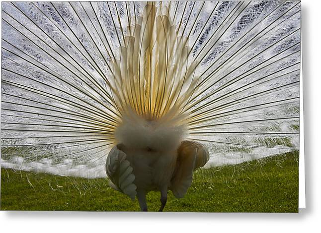 Strut Greeting Cards - White Peacock Greeting Card by Joana Kruse