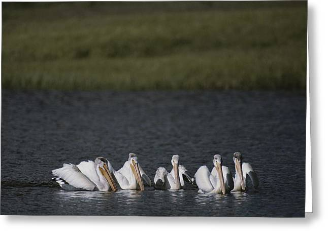 American White Pelican (pelecanus Erythrorhynchos) Greeting Cards - White Pelicans Encircling Fish Greeting Card by Raymond Gehman