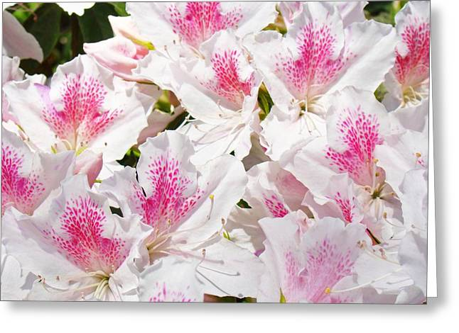 Pink Rhodies Greeting Cards - White Pink Rhododendrons Floral Flowers art prints Baslee Troutman Greeting Card by Baslee Troutman Fine Art Florals