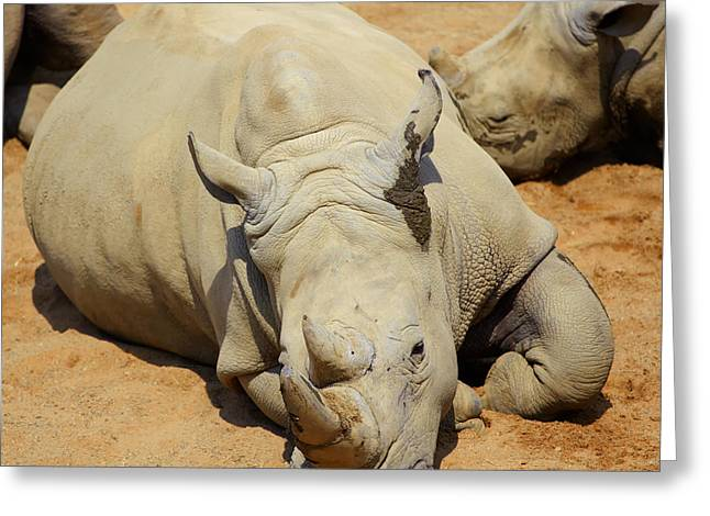 Rhinoceros Greeting Cards - White Rhino resting in the sun Greeting Card by Gabriela Insuratelu