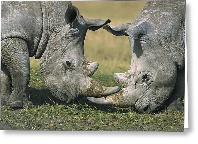 Rhinocerotidae Greeting Cards - White Rhinoceros Ceratotherium Simum Greeting Card by Martin Withers