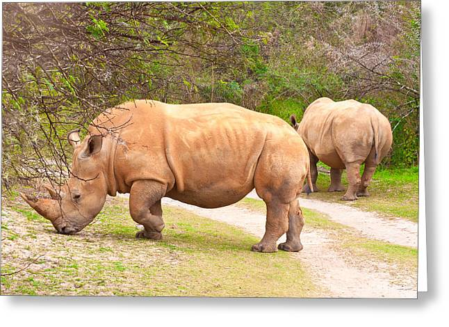 Vertebrate Greeting Cards - White Rhinoceros Greeting Card by Tom Gowanlock