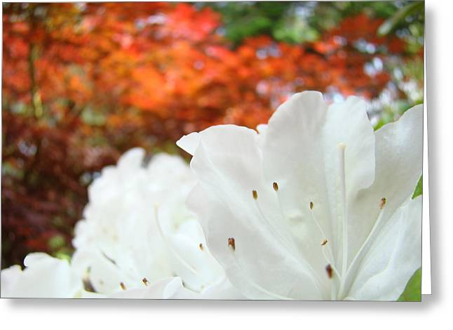 Rhodies Greeting Cards - White Rhododendron Flowers Autumn Floral prints Greeting Card by Baslee Troutman