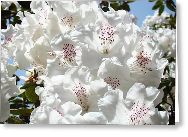 �rhodies Flowers� Greeting Cards - White Rhododendrons Flowers art prints Baslee Troutman Greeting Card by Baslee Troutman Fine Art Print Collections