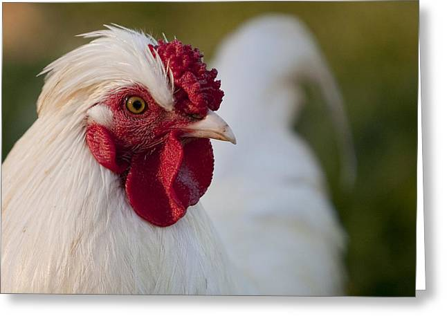 Rural Greeting Cards - White Rooster Greeting Card by Michelle Wrighton