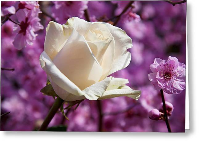 Seasonal Bloom Greeting Cards - White rose and plum blossoms Greeting Card by Garry Gay