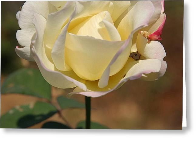 White Rose Greeting Card by Donald Tusa