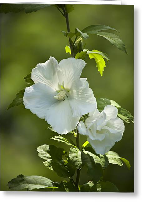 Rose Of Sharon Greeting Cards - White Rose of Sharon Greeting Card by Teresa Mucha