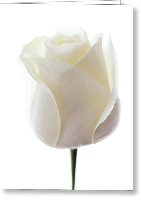 First Love Greeting Cards - White Rose (rosa Sp.) Greeting Card by Gavin Kingcome