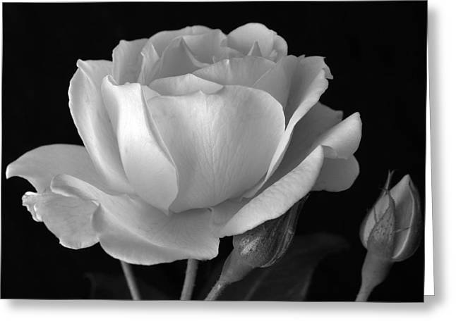 Nature Study Greeting Cards - White Rose Greeting Card by Terence Davis