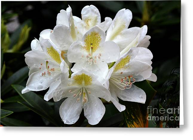 White Simplicity Greeting Card by Pravine Chester