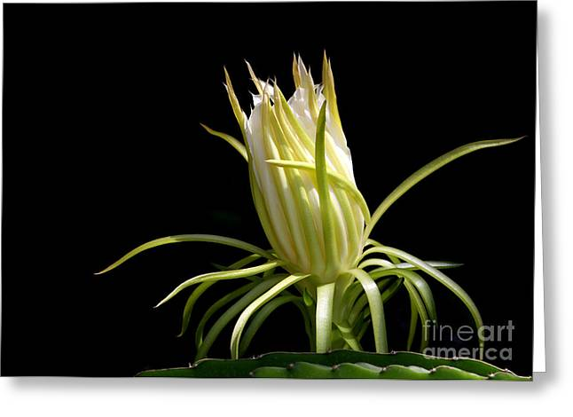 Florida Flowers Greeting Cards - White Spikey Cactus Flower Greeting Card by Sabrina L Ryan