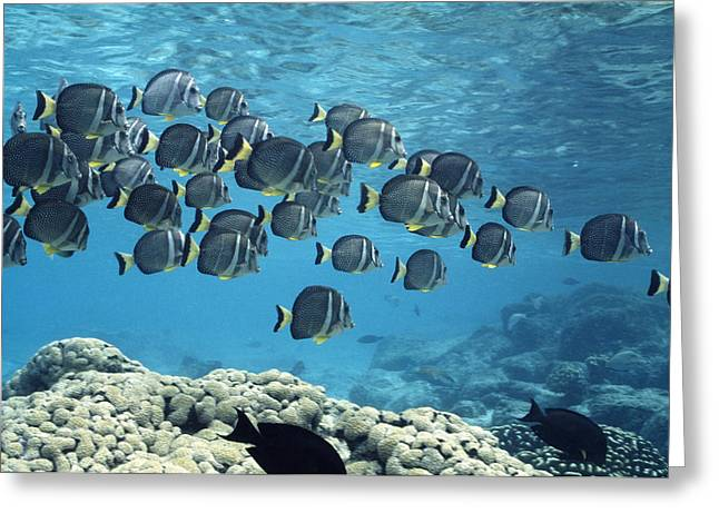 Surgeonfish Greeting Cards - White-spotted Surgeonfish Shoal Greeting Card by Alexis Rosenfeld