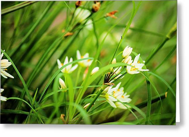 Star Of Bethlehem Greeting Cards - White Spring Flowers Greeting Card by Sarah Broadmeadow-Thomas