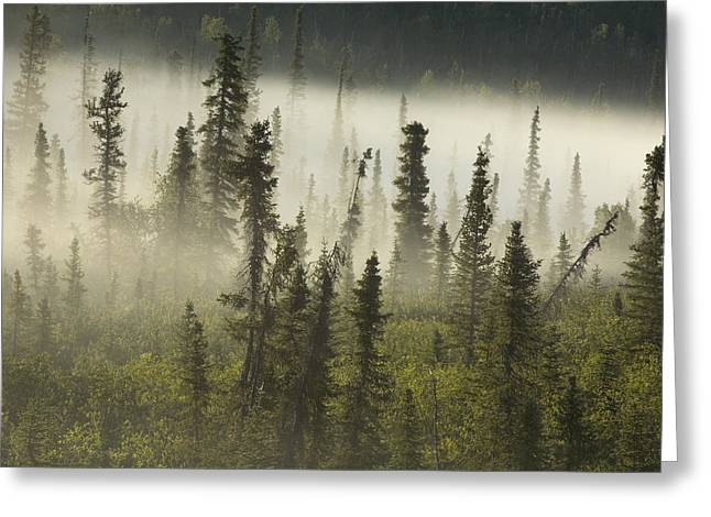 Tombstone Territorial Park Greeting Cards - White Spruce Forest In Mist, Tombstone Greeting Card by Philippe Henry