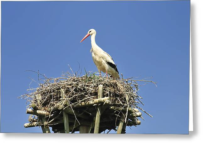 The Hatchery Greeting Cards - White stork Ciconia ciconia Greeting Card by Matthias Hauser