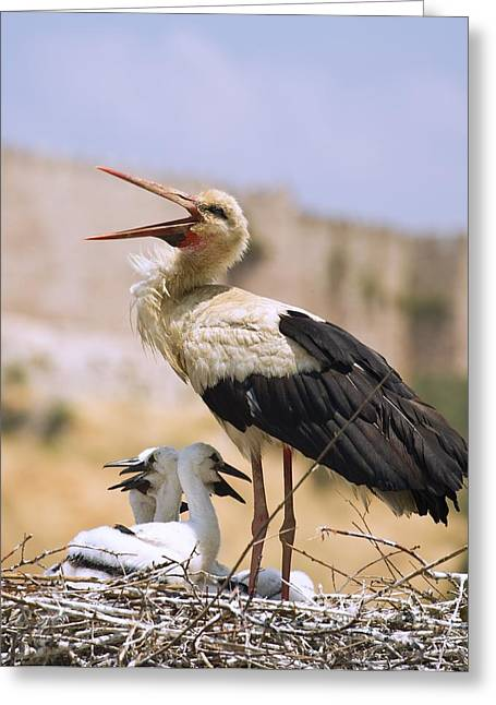Young Turkey Greeting Cards - White Stork Ciconia Ciconia, Turkey Greeting Card by Carson Ganci
