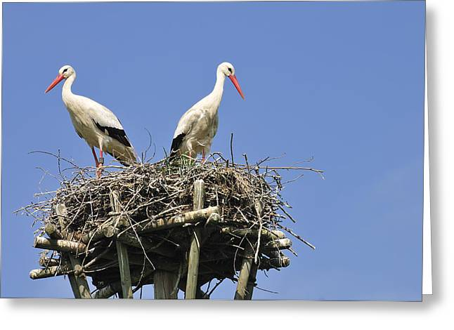 The Hatchery Greeting Cards - White storks in their nest Greeting Card by Matthias Hauser