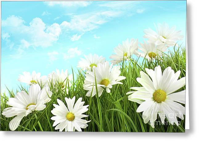 Paradise Meadow Greeting Cards - White summer daisies in tall grass Greeting Card by Sandra Cunningham