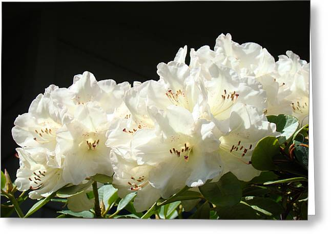 Rhodies Greeting Cards - White Sunlit Floral art prints Rhododendron Flowers Greeting Card by Baslee Troutman