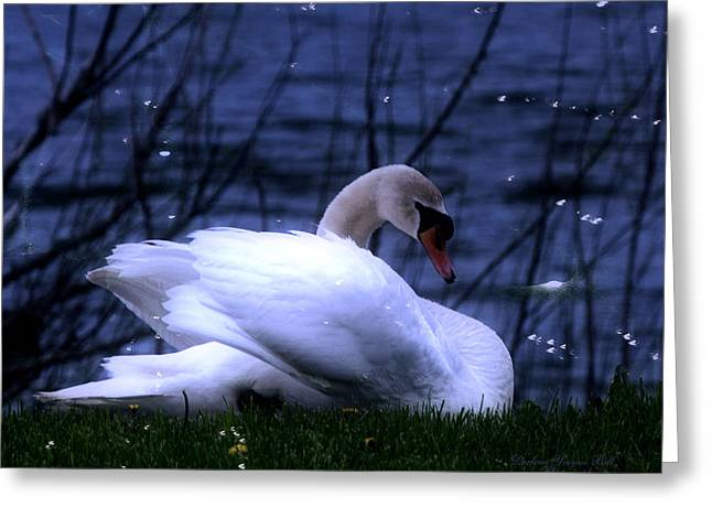 Reflection In Water Greeting Cards - White Swan Greeting Card by Darlene Bell