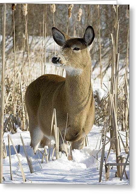 Cornfield Greeting Cards - White-tailed Deer In A Snow-covered Greeting Card by Philippe Henry
