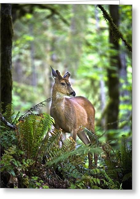 Angeles Forest Greeting Cards - White-tailed Deer Odocoileus Greeting Card by Richard Wear