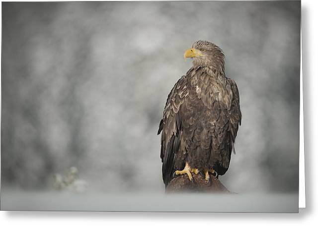 Scandanavia Greeting Cards - White-tailed Eagle Greeting Card by Andy Astbury