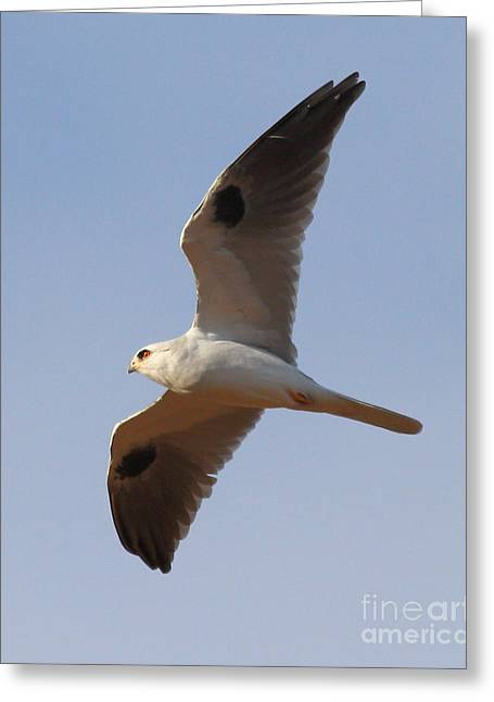 Kites Greeting Cards - White-Tailed Kite Hawk In Flight . 7D10984 Greeting Card by Wingsdomain Art and Photography