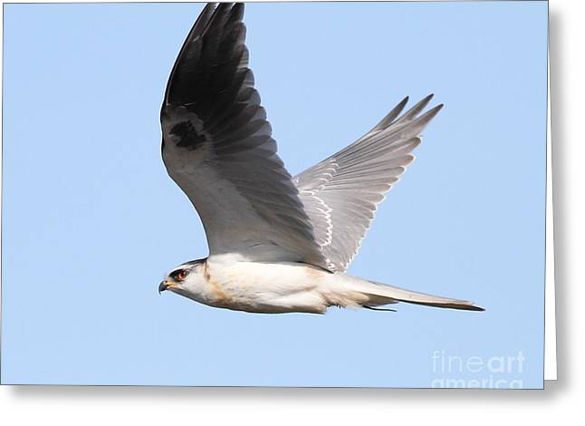 Hawks In Flight Greeting Cards - White-Tailed Kite Hawk In Flight . 7D11109 Greeting Card by Wingsdomain Art and Photography