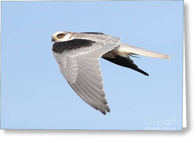Kite Greeting Cards - White-Tailed Kite Hawk In Flight . 7D11110 Greeting Card by Wingsdomain Art and Photography