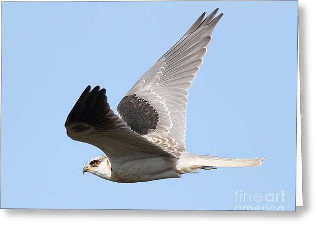 Kites Greeting Cards - White-Tailed Kite Hawk In Flight . 7D11112 Greeting Card by Wingsdomain Art and Photography