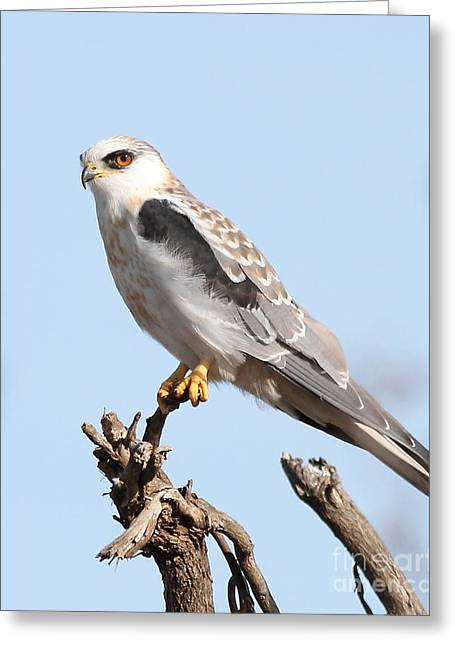 Recently Sold -  - Kite Greeting Cards - White-Tailed Kite Hawk Perched . 7D11090-1 Greeting Card by Wingsdomain Art and Photography