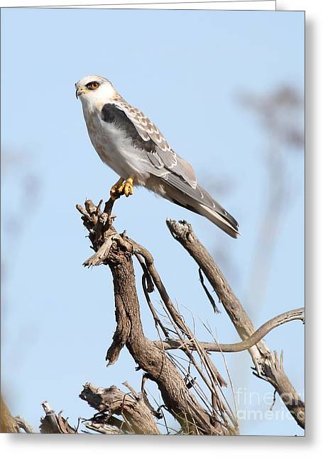 Kites Greeting Cards - White-Tailed Kite Hawk Perched . 7D11090-2 Greeting Card by Wingsdomain Art and Photography