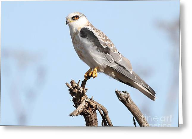 Kites Greeting Cards - White-Tailed Kite Hawk Perched . 7D11090 Greeting Card by Wingsdomain Art and Photography