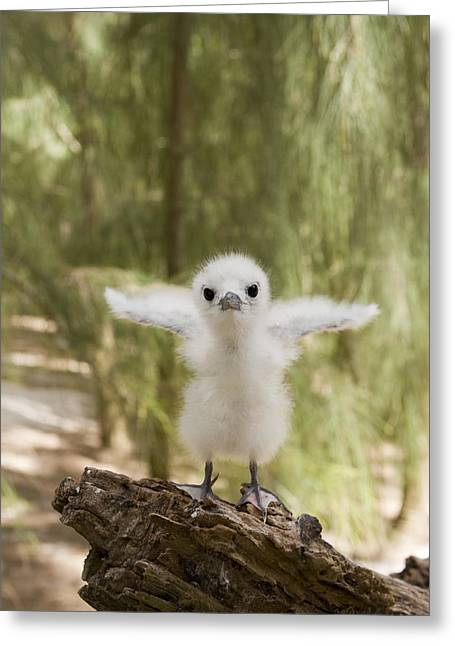 Us Open Photographs Greeting Cards - White Tern Chick Midway Atoll Hawaiian Greeting Card by Sebastian Kennerknecht