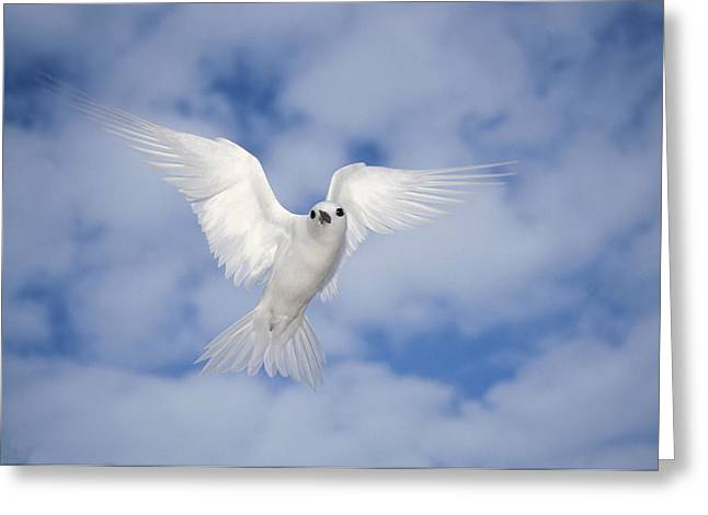 Tern Greeting Cards - White Tern Gygis Alba Hovering Greeting Card by Tui De Roy