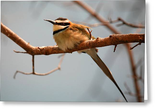Birds On A Branch Greeting Cards - White Throated Bee Eater Greeting Card by Karol  Livote